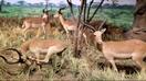 Rolling Hills Zoo Impalas