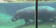 San Diego Zoo Common Hippo