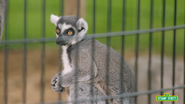 Sesame Street Lemur