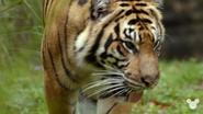 TMODAK Tiger
