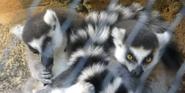 Tennessee Aquarium Ring-Tailed Lemurs