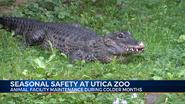 Utica Zoo Alligator