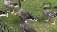 WTAF Greylag Geese