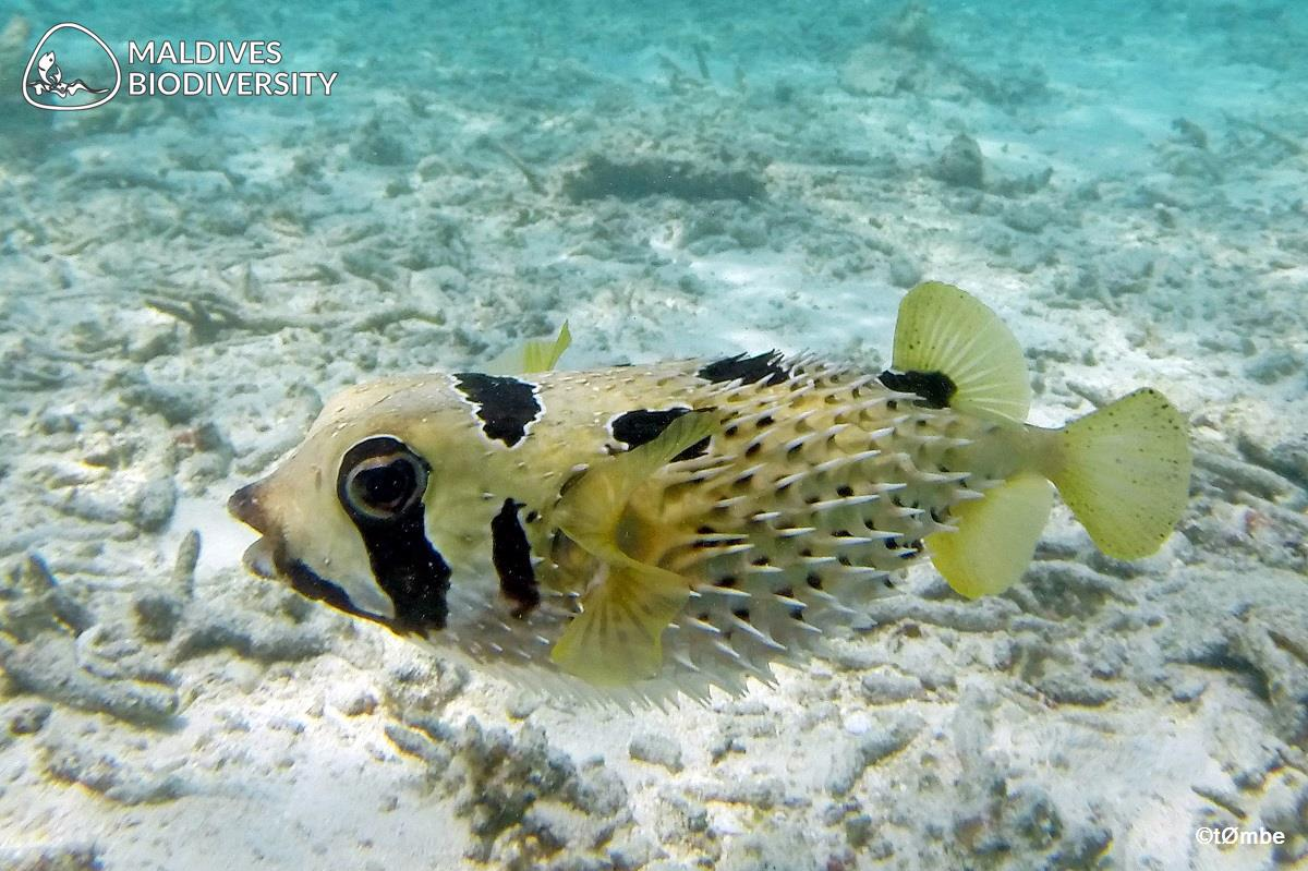 Black-Blotched Porcupinefish
