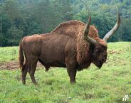 Giant-ice-age-bison