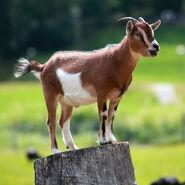 Goat, Domestic