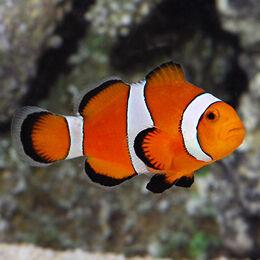 Lg80188OcellarisClownfish.jpg
