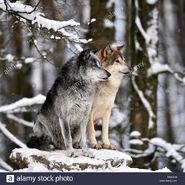 Male and Female Northwestern Wolves (V2)