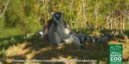 Naples Zoo Ring-Tailed Lemurs