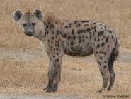 Spotted hyena (Crocuta crocuta)