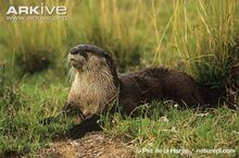 African-clawless-otter-on-bank.jpg