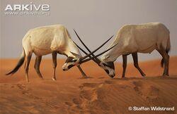 Arabian Oryxes.jpg