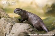 Asian-short-clawed-otter-side-view.jpg