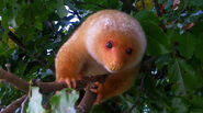 Cuscus, Common Spotted