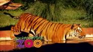 Dickerson Park Zoo Tiger