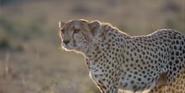 Earth 2009 Cheetah