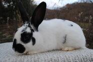 Friendly-Mini-Rex-Rabbit-Doe