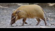 Howlett's Wild Animal Park River Hog