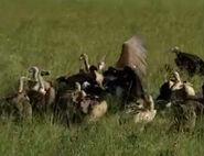 HugoSafari - Vulture05