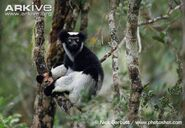 Indri-in-rainforest-canopy-1