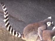 Louisville Zoo Lemur