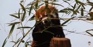 Birmingham Zoo Red Panda