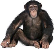 Chimpanzee Full Body