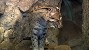 Cincinnati Zoo Fishing Cat