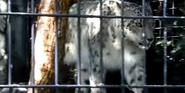Denver Zoo Snow Leopard