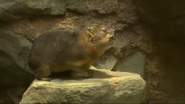 Minnesota Zoo Hyrax