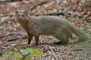 Mongoose, Indian Gray
