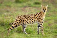 Serval (V2)