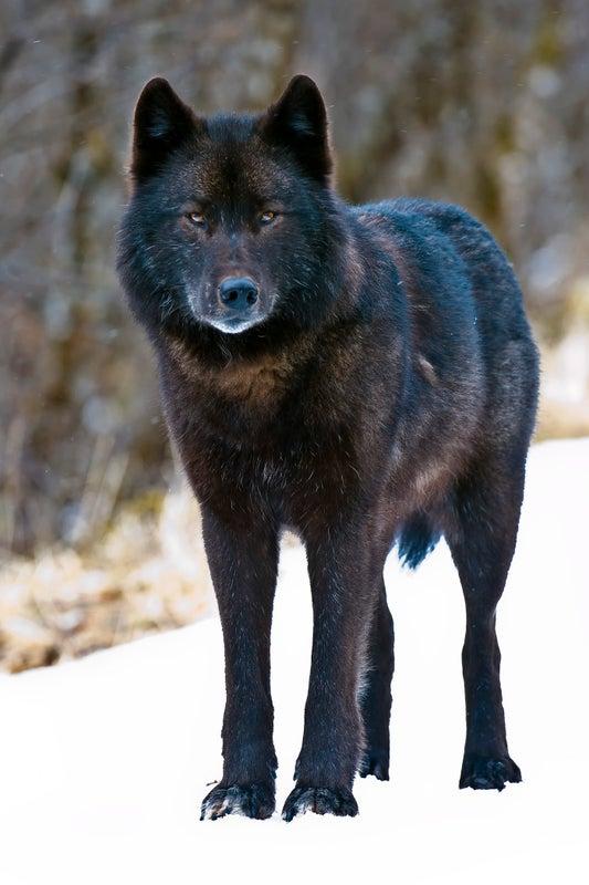 Alexander Archipelago Wolf