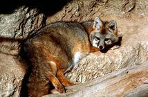 Fox, Grey.jpg