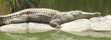 Freshwater-crocodile.jpg