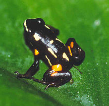 Brazilnut Poison Frog