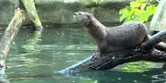 Toledo Zoo Otter