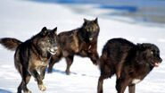 Alexander Archipelago wolf pack