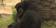 Audobon Zoo Siamang