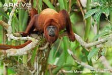 Colombian-red-howler-monkey-male-portrait.jpg
