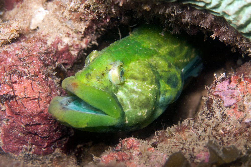 Carpet Eel-Blenny