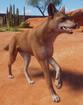 Dingo (Planet Zoo)