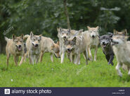 Eastern wolf pack