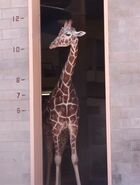 Giraffe utah's hogle zoo