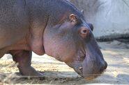 Hippopotamus (Animals)