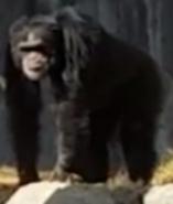 LA Zoo Chimpanzee
