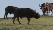 SDZ TV Series Buffalo