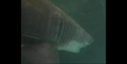 Scout's Safari Shark