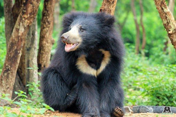 Common Sloth Bear