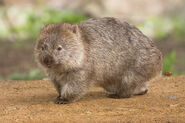 Wombat, Common